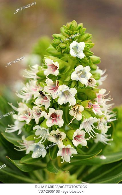 Tajinaste blanco (Echium famarae) is a shrub endemic of Lanzarote and Fuerteventura Islands, Canary Islands, Spain
