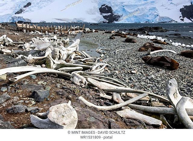 Whales bones strewn on the beach, and fur seals on the shore