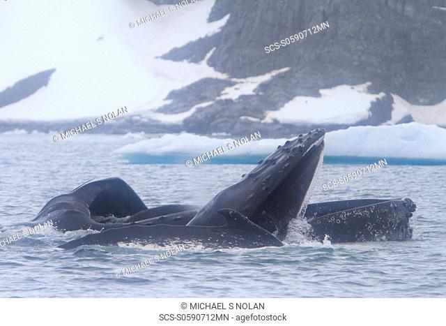 Adult humpback whale Megaptera novaeangliae surface lunge-feeding on krill near the Antarctic Peninsula, Antarctica, Southern Ocean MORE INFO Humpbacks feed...