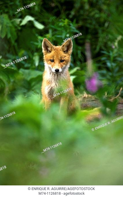 Red Fox (Vulpes vulpes) cub, NcNeil, Alaska, USA