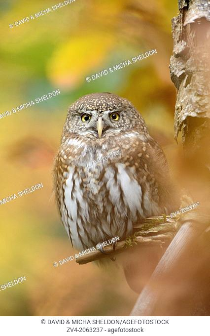 Close-up of a Eurasian Pygmy Owl (Glaucidium passerinum) in autumn in the bavarian forest
