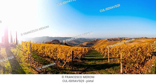 Rows of golden autumn vineyards at sunrise, Langhe, Piedmont, Italy