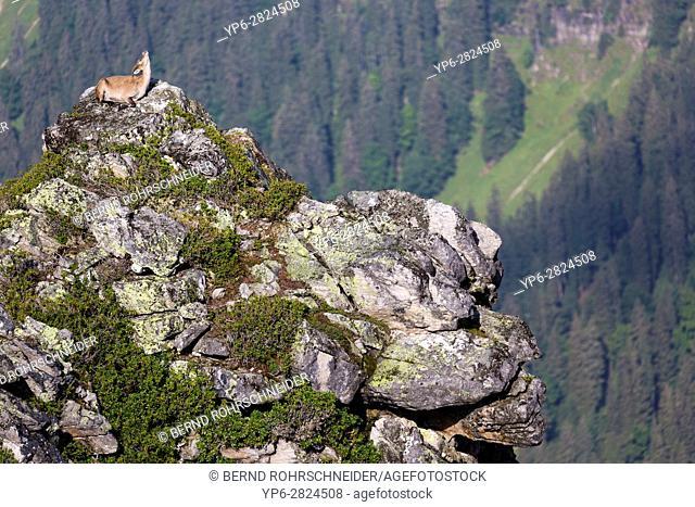 Alpine Ibex (Capra ibex), adult female lying on rock in mountain habitat, Niederhorn, Bernese Oberland, Switzerland