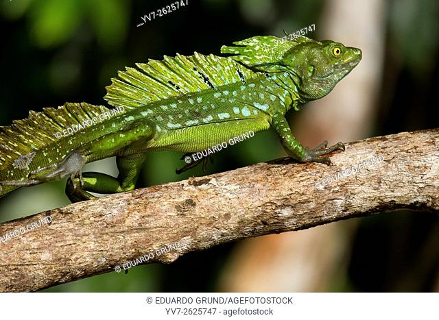 Green basilisk or double crested basilisk (Basiliscus plumifrons) Macho. Tortuguero, Costa Rica, Central America