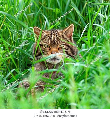 Scottish Wildcat in long grass