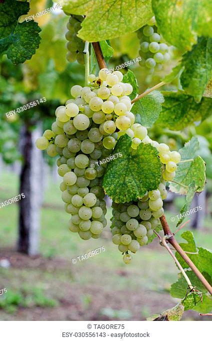 View of bunches of ripe grapes still on the vine
