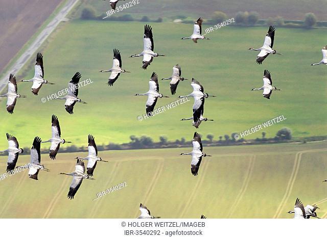 Aerial view, Cranes (Grus grus) in flight