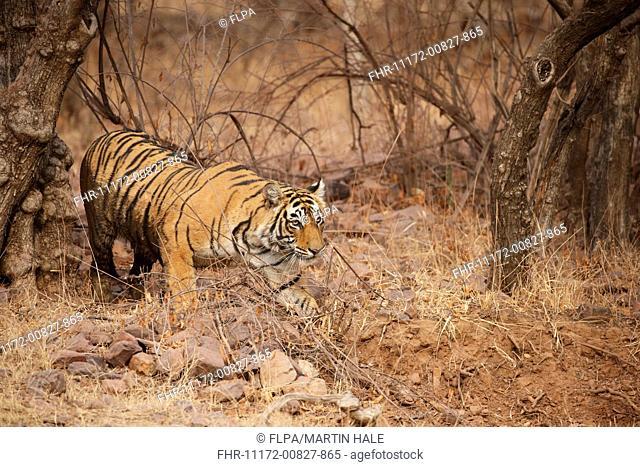 Indian Tiger (Panthera tigris tigris) adult female, walking in dry grass, Ranthambore N.P., Sawai Madhopur, Rajasthan, India, February