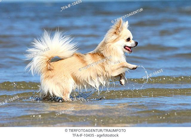 running longhaired Chihuahua