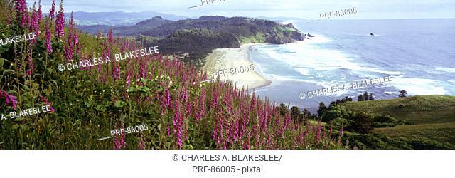 Foxgloves at Cascade Head Tillamook County OR