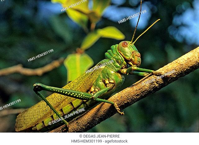 Venezuela, Bolivar State, Gran Sabana Region, Canaima National Park, listed as World Heritage by UNESCO, giant locust