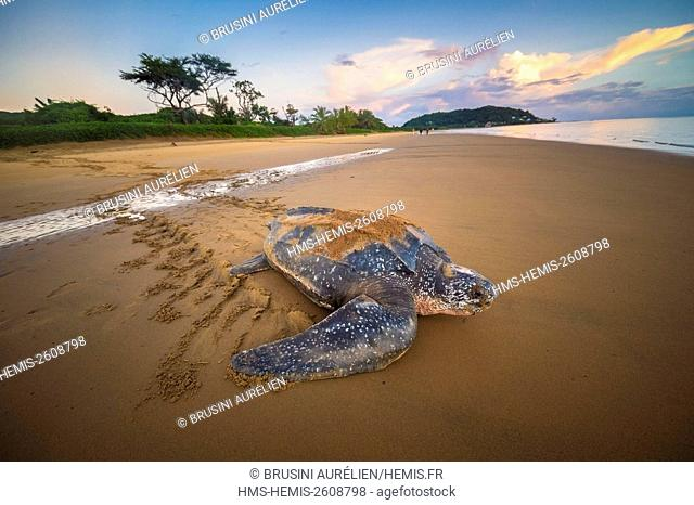 France, Guiana, Cayenne, Rémire-Montjoly beach, return to the Atlantic Ocean of a female leatherback turtle (Dermochelys coriacea) after nesting in the early...