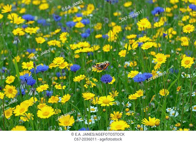 Small Tortoishell Butterfly Corn Marigold; Corn flower and Corn Chamomile in Meadow