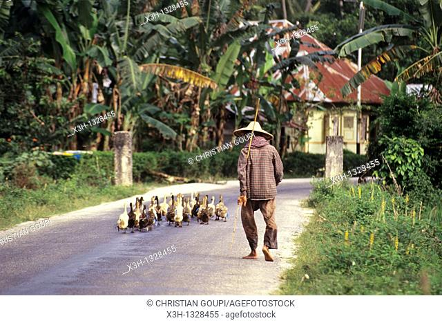 goose keeper, Sumatra island, Republic of Indonesia, Southeast Asia and Oceania