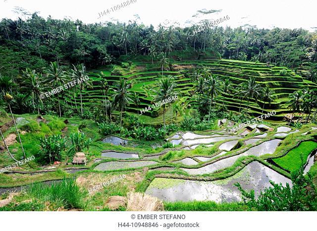 Asia, Indonesia, Bali, Ubud, rice, agriculture, terraces, palms