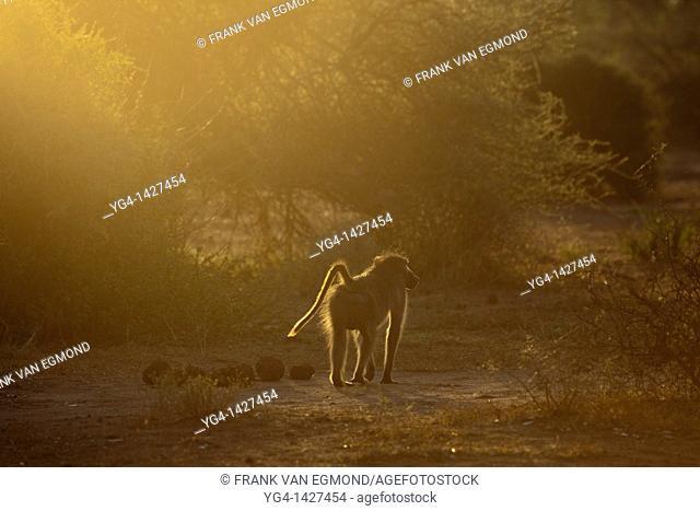 Chacma Baboon Papio Ursinus   Mashatu Game Reserve  Tuli block, Botswana  November 2010