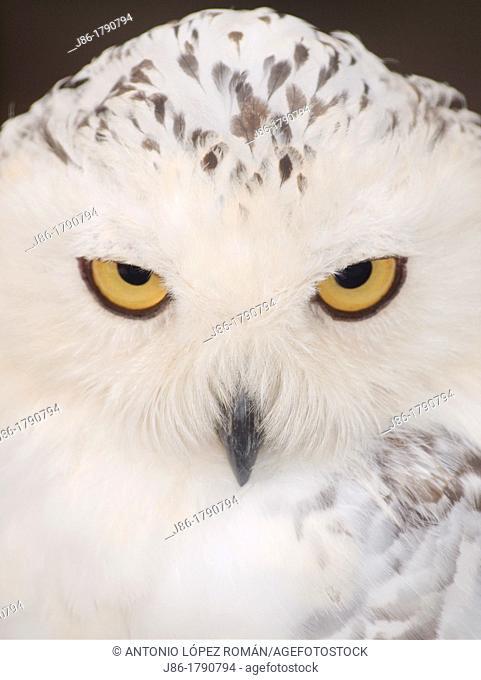 snowy owl head, Nyctea scandiaca