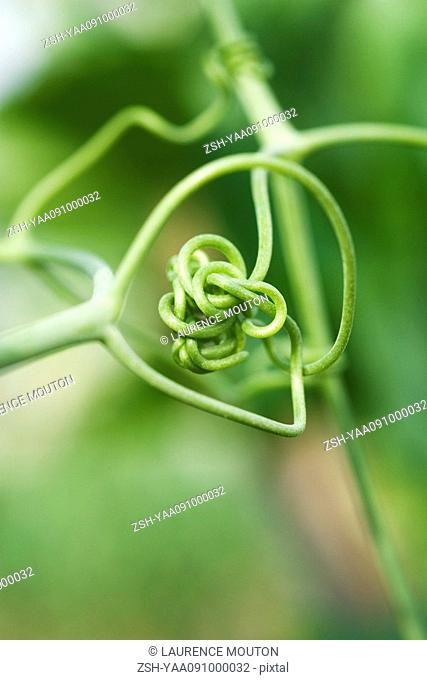 Tangled tendril, close-up