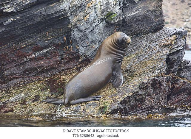 South American fur seal (Arctocephalus australis) on Isla Choros, Humboldt Penguin Reserve, Punta Choros, Chile