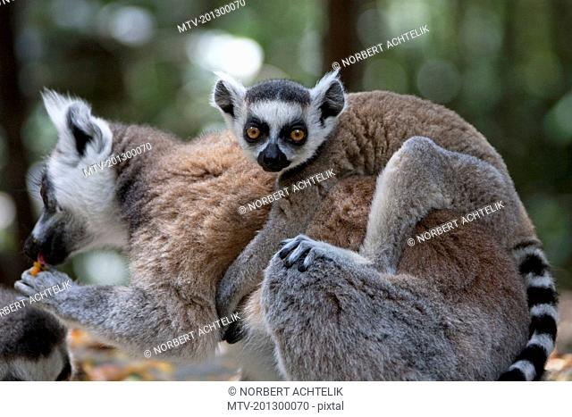 Ring-tailed Lemur (Lemur catta) with baby on back, South Africa