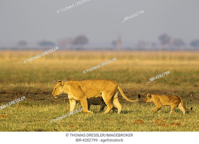 Lion (Panthera leo), female with two cubs, walking, early morning, Savuti, Chobe National Park, Botswana
