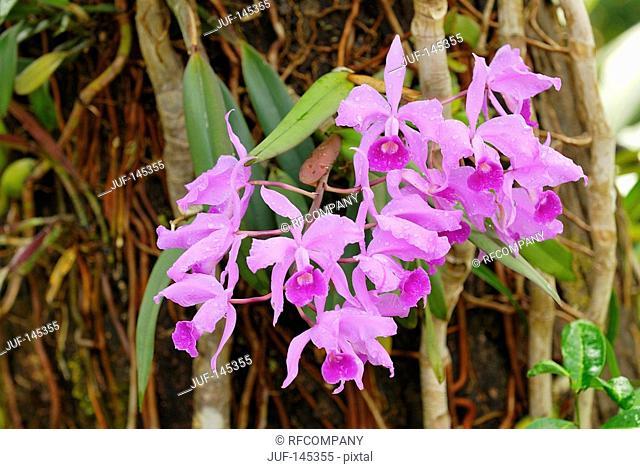 Jenmans Cattleya / Cattleya jenmanii