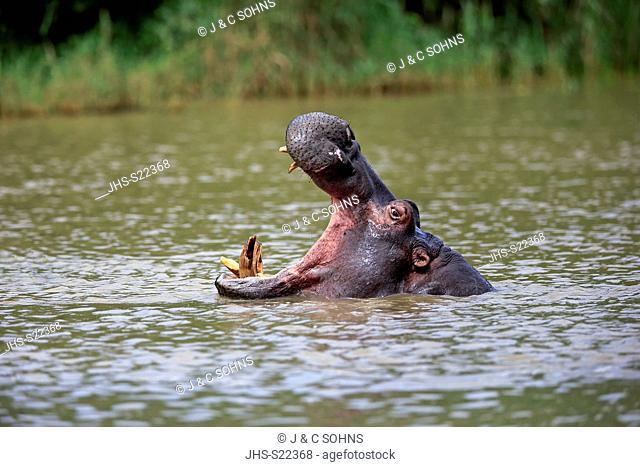 Hippopotamus, (Hippopatamus amphibius), adults in water threatening, portrait, Saint Lucia Estuary, Isimangaliso Wetland Park, Kwazulu Natal, South Africa