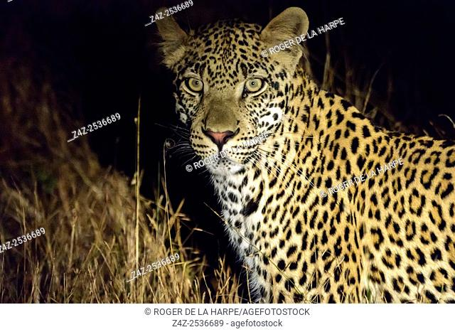 Leopard (Panthera pardus). Kruger National Park. Mpumalanga. South Africa