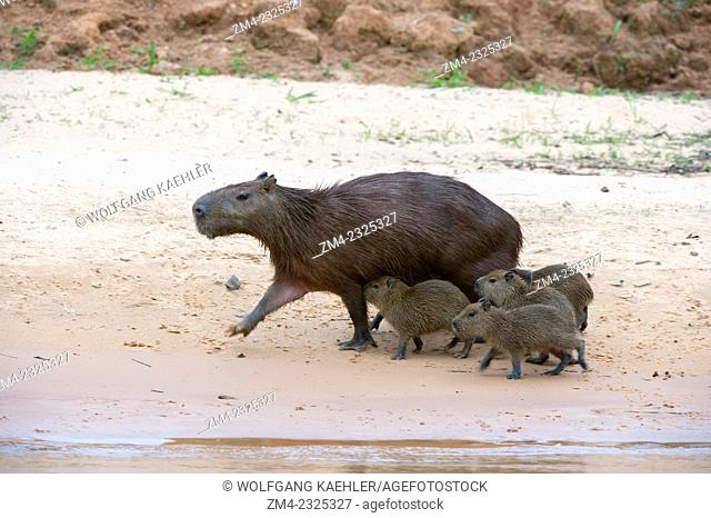 Capybara (Hydrochoerus hydrochaeris) babies nursing on a beach at a tributary of the Cuiaba River near Porto Jofre in the northern Pantanal