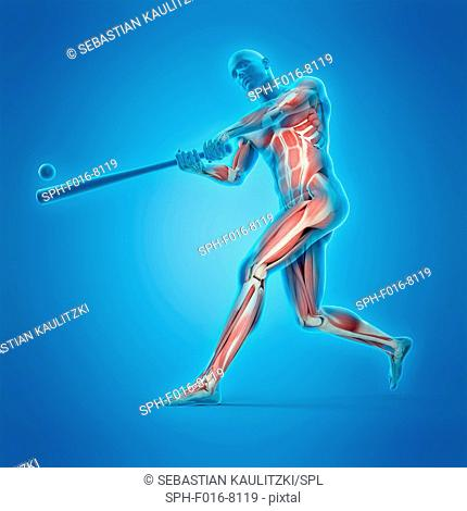 Muscular structure of a baseball player, illustration