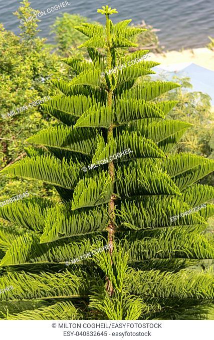 A Norfolk Island Pine tree near Lake Kivu in Kibuye, Rwanda