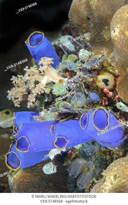 sea squirts or ascidians, Rhopalaea sp. , Verde Island, Batangas, Philippines, Pacific