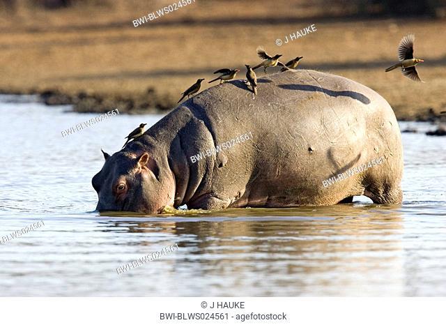 hippopotamus or hippo Hippopotamus amphibius, with beefeater, South Africa, Krueger Nationalpark