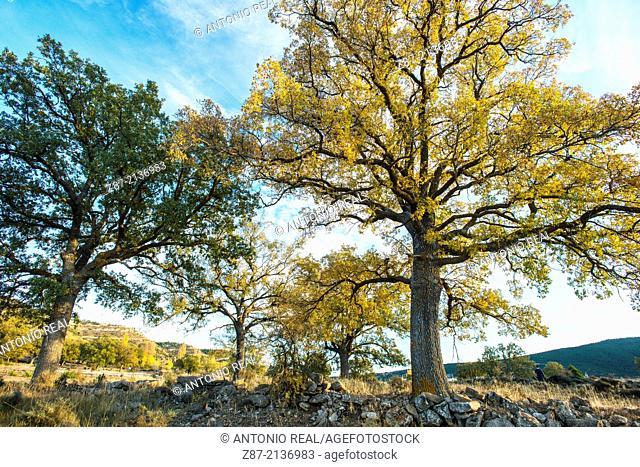 Portuguese Oak (Quercus faginea), Salvacañete, Serranía de Cuenca, Cuenca province, Castilla-La Mancha, Spain