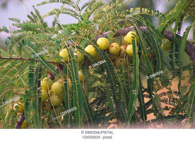 Amla (Emblica officinalis). Rajasthan. India