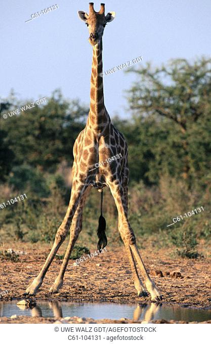 Giraffe (Giraffe camelopardalis). Etosha National Park. Namibia
