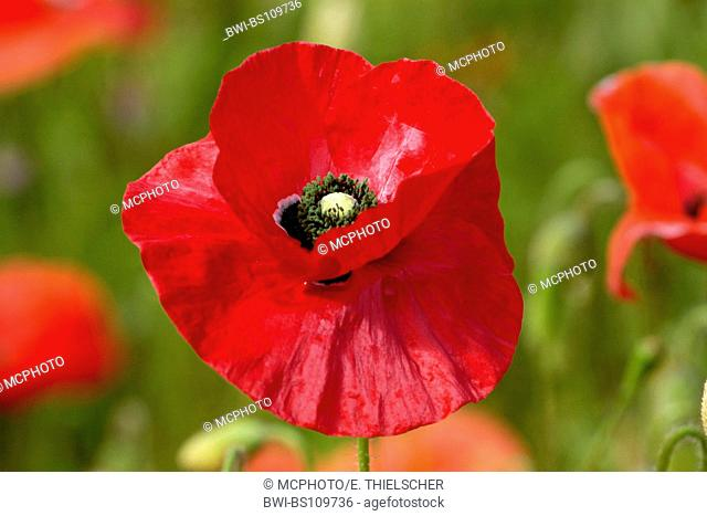 common poppy, corn poppy, red poppy (Papaver rhoeas), flower, Netherlands, Texel
