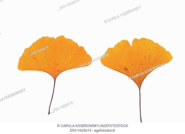 Two Leaves of Gingko Biloba in autumn colour
