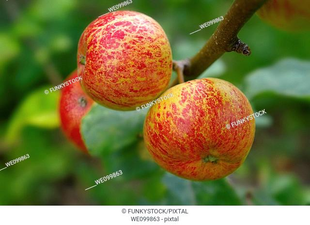 Faxton Fortune red apples on the tree