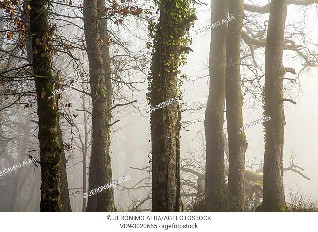 Oak wood forest. Le Gers Department, New Aquitaine, Midi Pyerenees. France Europe wood. Le Gers Department, New Aquitaine, Midi Pyerenees
