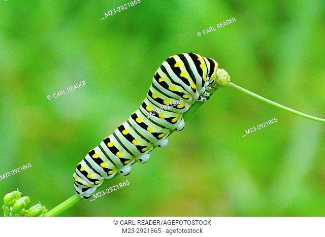 A closeup of a monarch butterfly caterpillars, danaus plexippus, Pennsylvania, USA