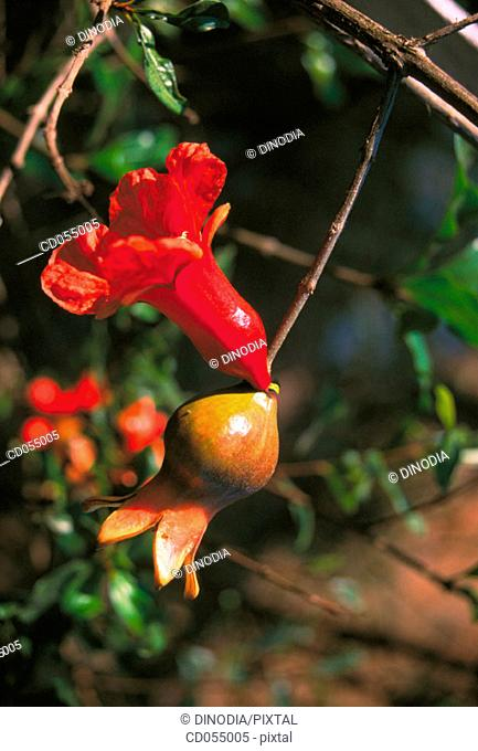 Pomegranate. Ganpatipule. Maharashtra. India