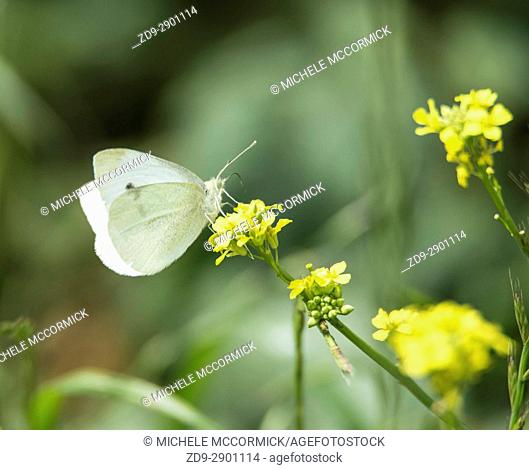 A butterfly perches on mustard blooms