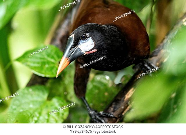Montezuma Oropendola (Psarocolius montezuma) - Boca Tapada, San Carlos, Costa Rica