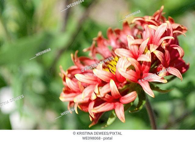 A trumpet style red Gaillardia hybrid