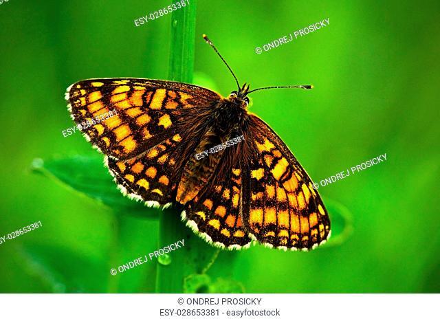 Beautiful butterfly, Heath Fritillary, Melitaea athalia