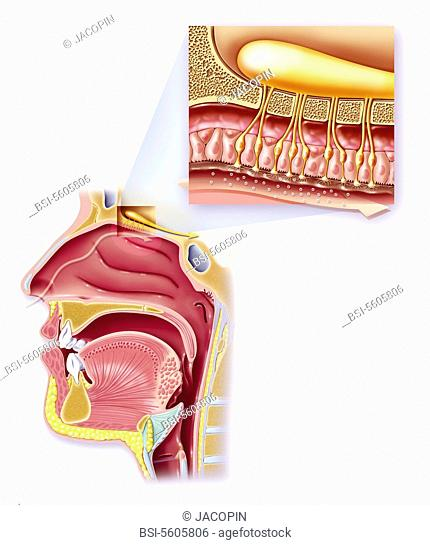The 5 senses - Smell. Anatomy of the nose and rhinopharynx. Zoom on the organ of olfaction. See. the image 0229206 for the olfactive organ alone