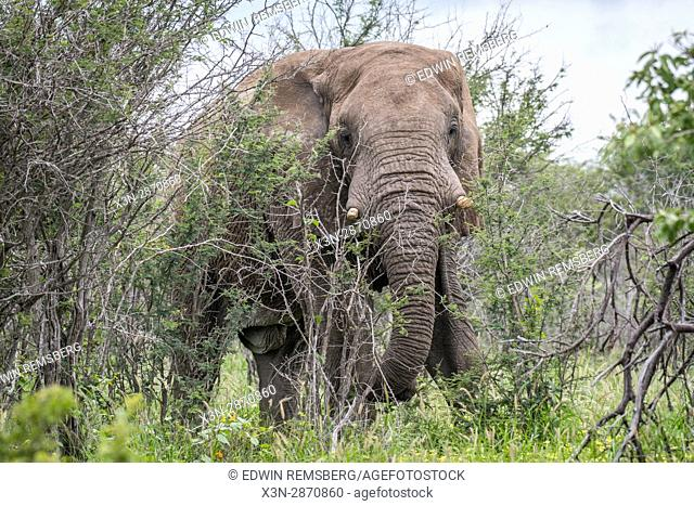 An elephant walking through a brush at Etosha National Park, located in Namibia, Africa