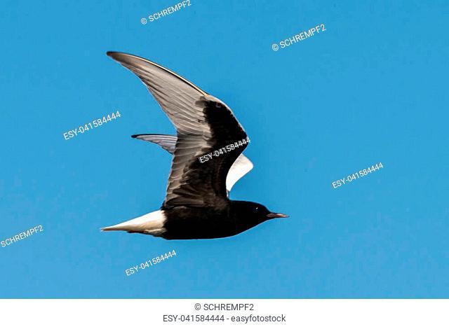 white-winged tern Chlidonias leucopterus in poland