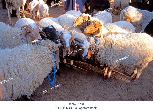 Sheep Market,Tunisia